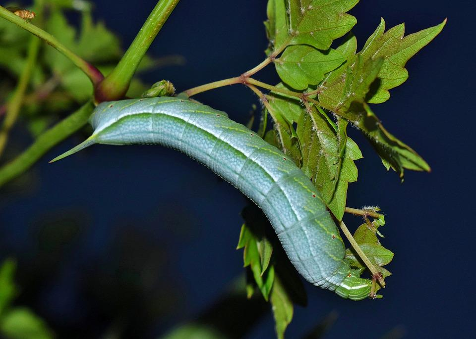 Caterpillar, Larvae, Banded Sphinx Moth Caterpillar