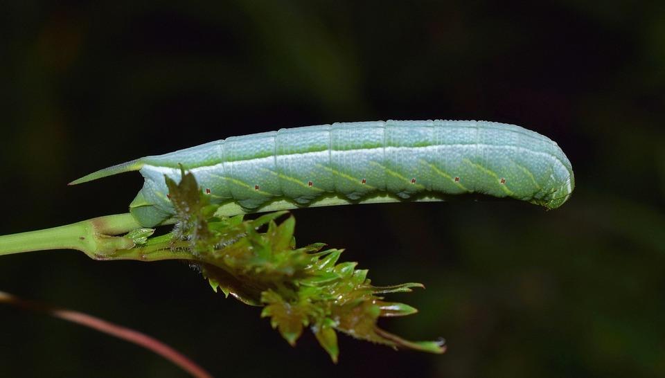 Caterpillar, Larvae, Banded Sphinx Moth Caterpillar
