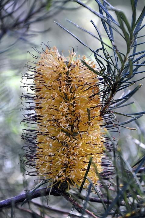 Yellow, Flower, Banksia, Native, Bush, Australian