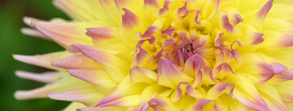 Flower, Nature, Dahlia, Background, Banner, Yellow