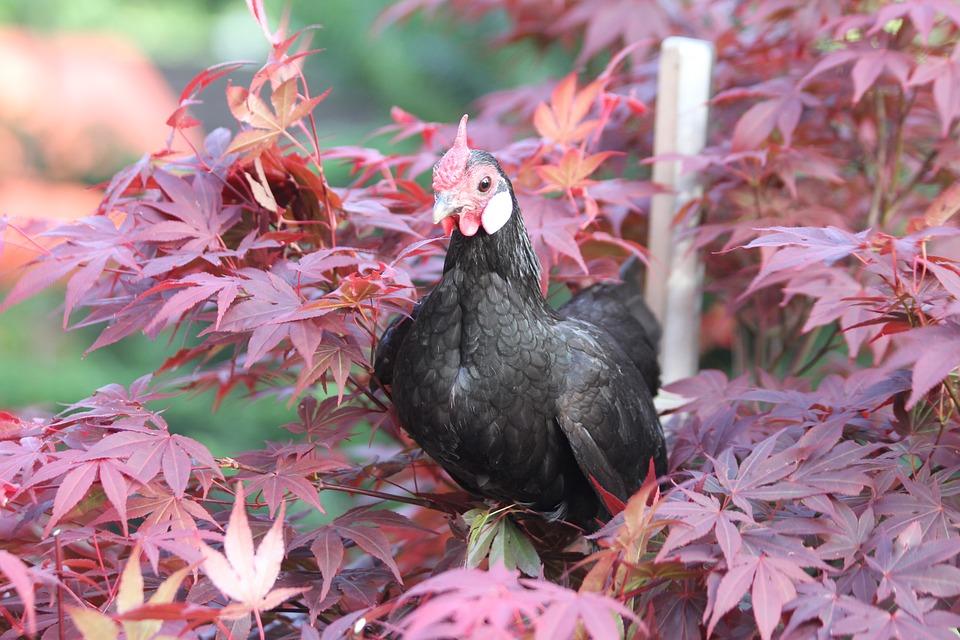 Hen, Chicken, Bantam, Black, Poultry, Free Range, Bill