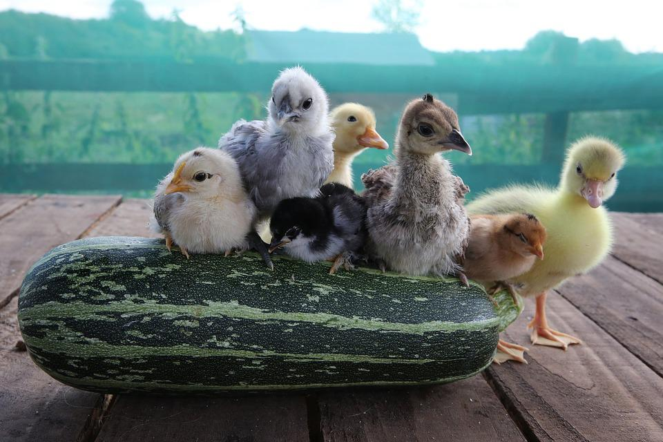 Chicks, Duckling, Gosling, Peachick, Bantams, Bird