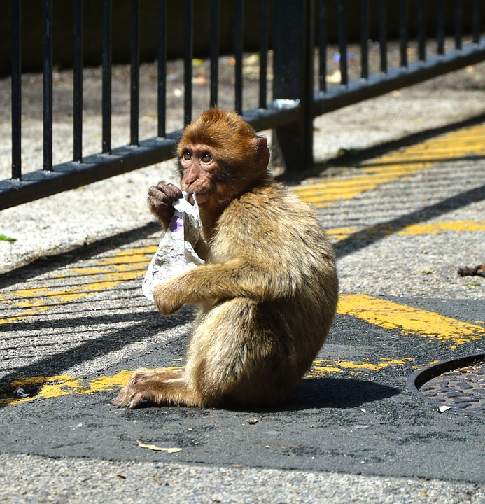 Barbary Ape Monkey Rock Of Gibraltar, Cute