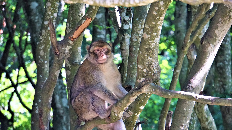 Barbary Ape, In The Tree, On A Branch, Sitting