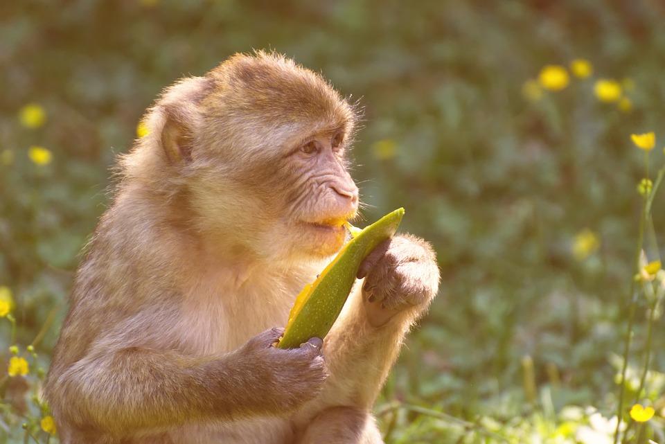 Barbary Ape, Endangered Species, Wild Animals