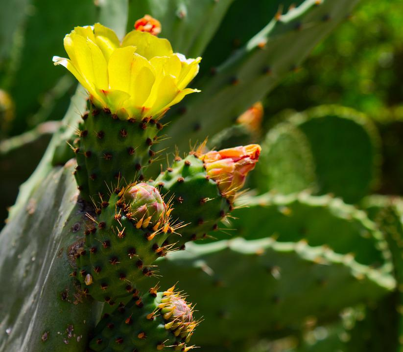 Prickly Pear, Barbary Fig, Flower, Succulent, Nature