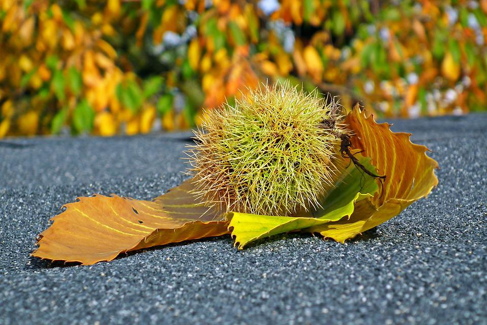 Chestnut, Edible, Foliage, Fruit, Autumn, Barbed, Food