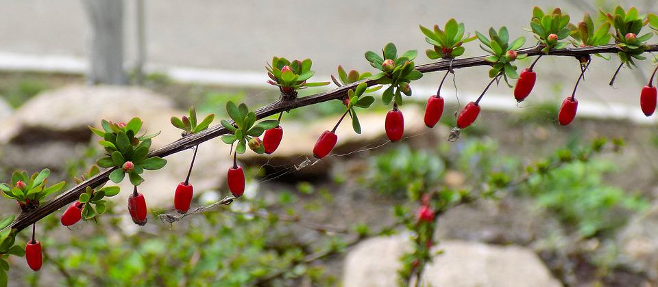 Barberry, Berry, Nature, Sheet, Plant, Food, Spring
