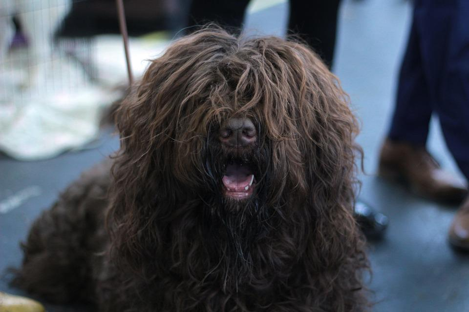 Free Photo Barbet Dog Dogshow Portrait Long Haired Brown