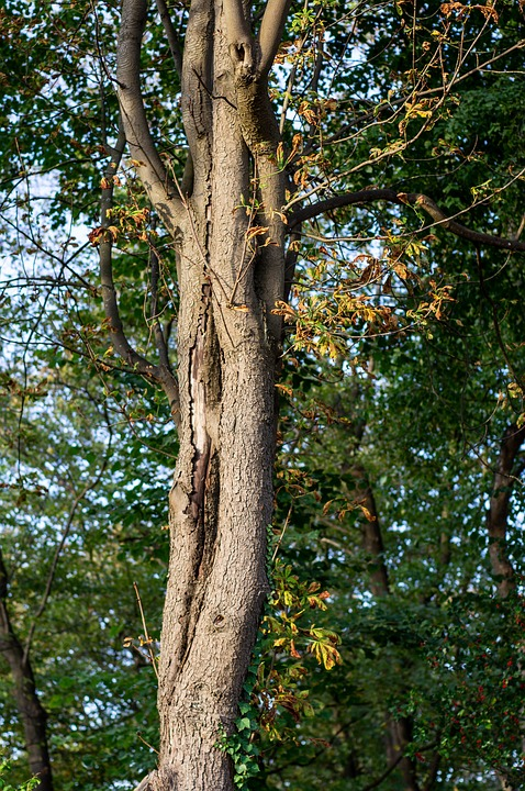 Tree, Oak, Leaves, Autumn, Autumn Mood, Nature, Bark