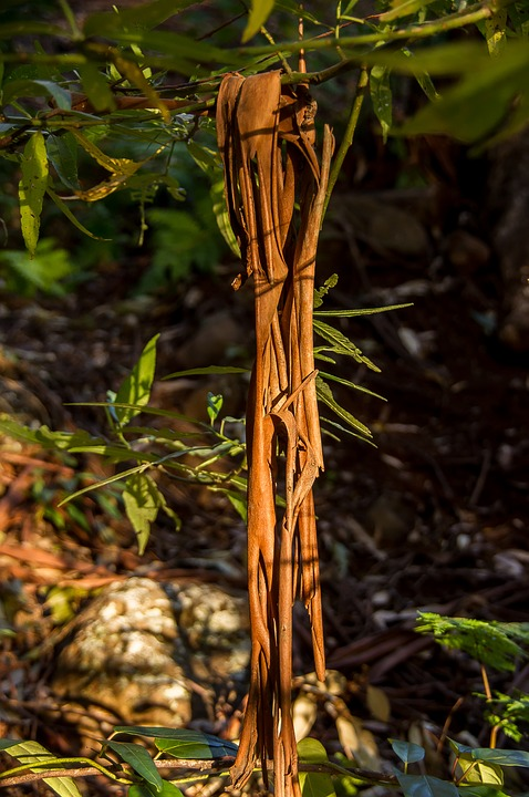 Bark, Peeled, Fallen, Shed, Gum Tree, Eucalypts, Curled