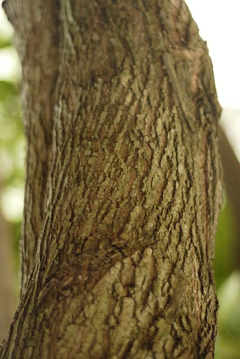 Tree, Log, Bark, Trunk, Guaciama, Guazuma Ulmifolia