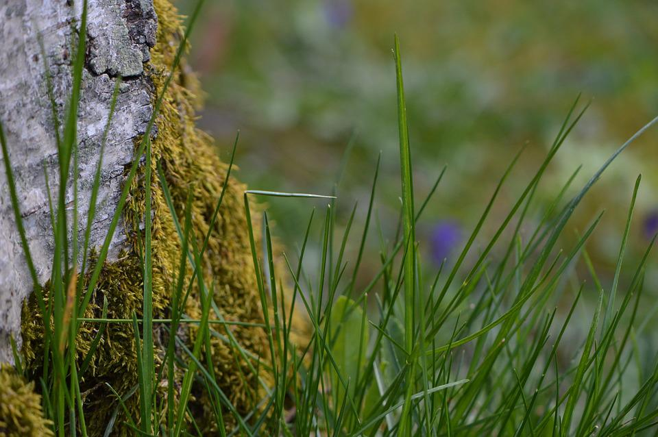 Grass, Blades Of Grass, Birch, Tree, Nature, Bark, Moss