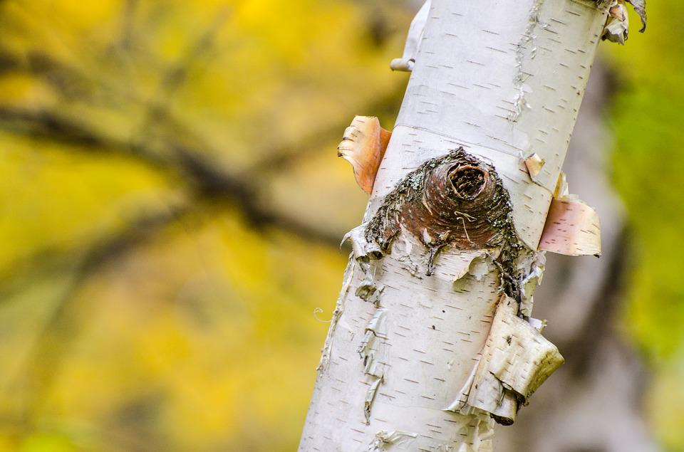 Birch Tree, Bark, Peeling Bark, Fall, Autumn, Trees
