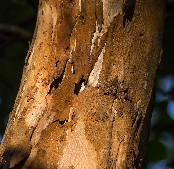 Tree, Bark, Trunk, Wood, Brown, Pattern, Peeling