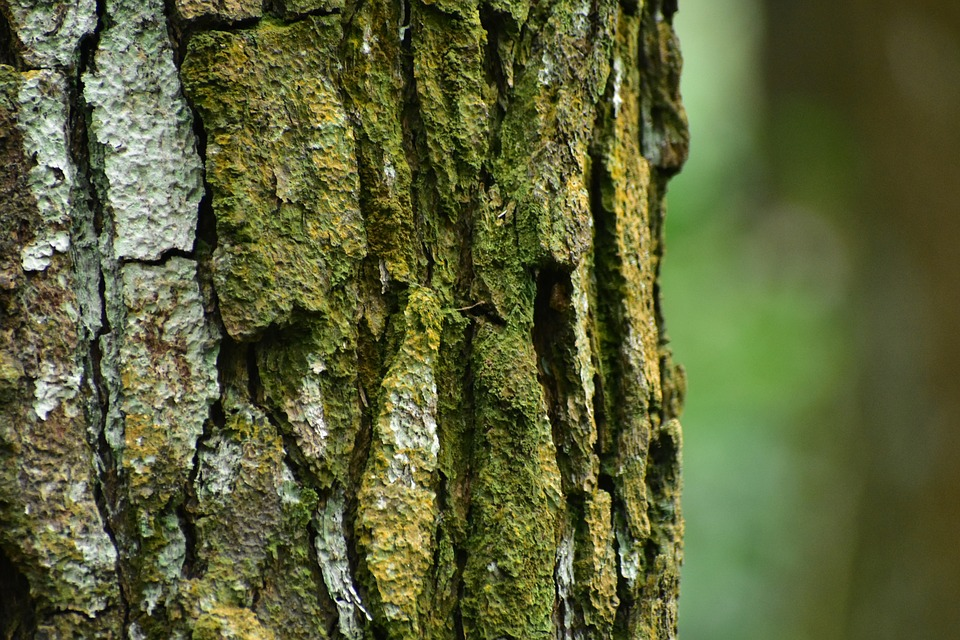 Pine Tree, Bark, Wood, Trunk, Moss, Outdoors, Desktop