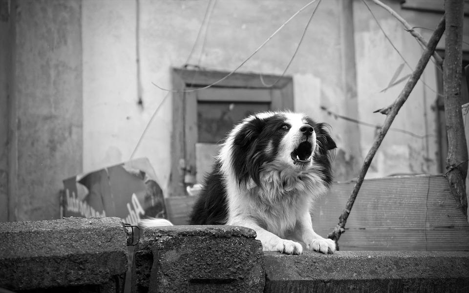 Dog, Barking, Fence, Home, Black And White, Angry