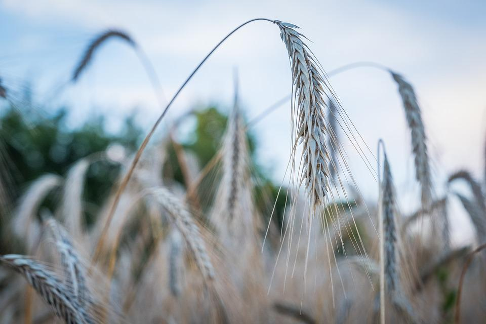 Barley, Wheat, Ear, Sun, Back Light, Macro, Agriculture