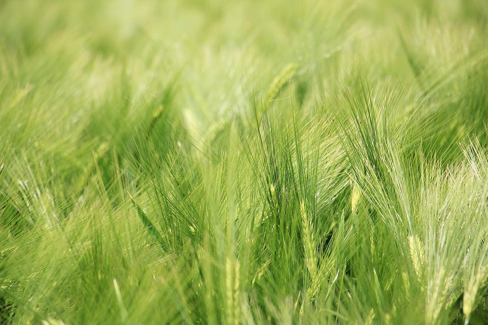 Barley Field, Barley, Cereals, Field, Agriculture