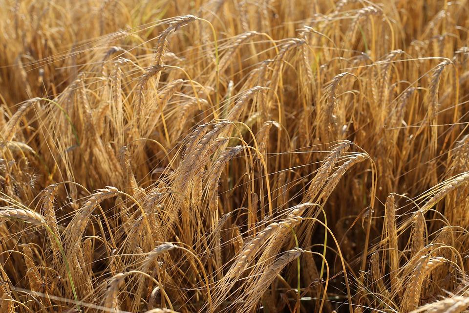 Barley Before Harvest, Agriculture, Food, Beer, Outdoor
