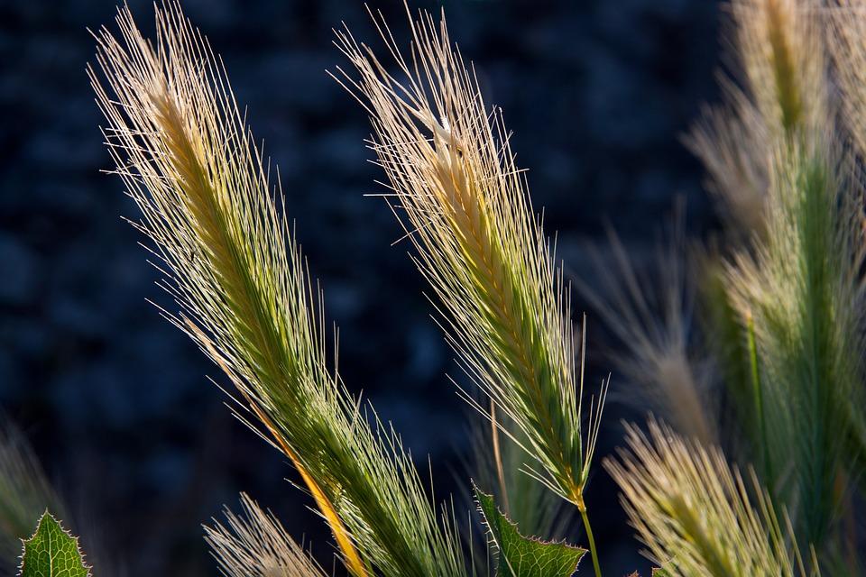 Wheat Crops, Barley, Crops, Cereals, Food, Grains
