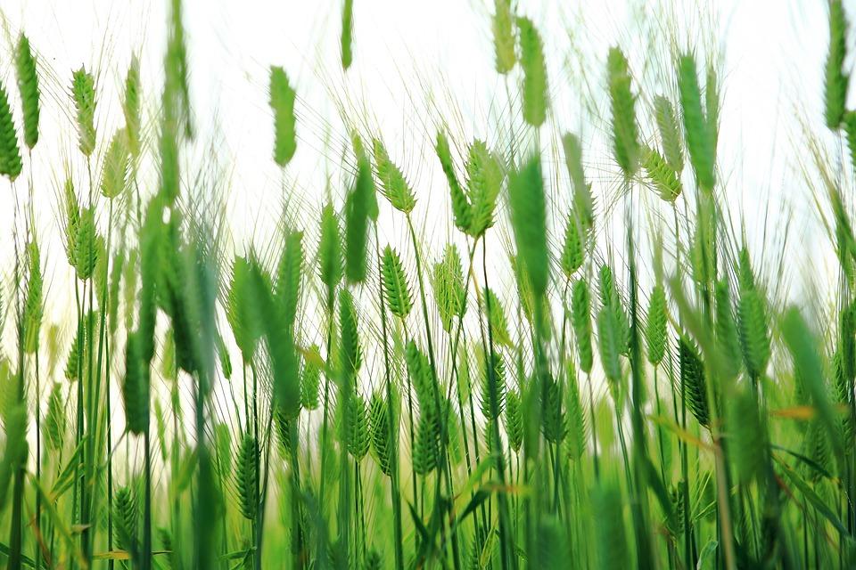 Abstract, Barley Field, Cheongbori, Jeju Island, Jeju