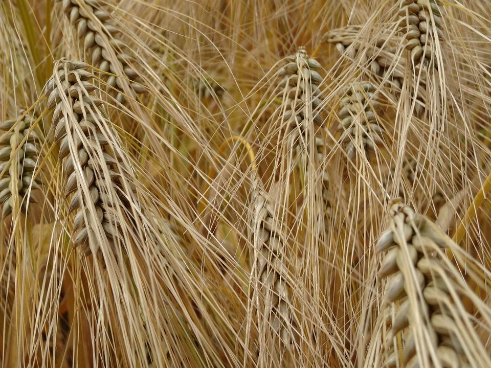 Cereals, Barley, Grain, Cornfield, Barley Field