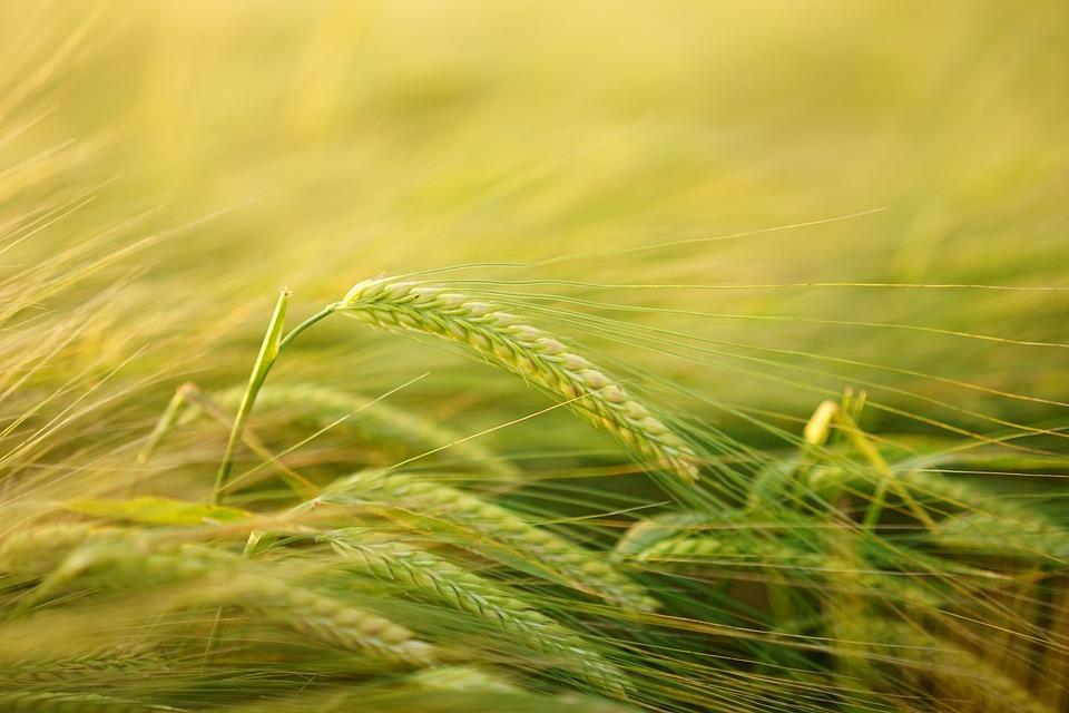 Barley, Getreideanbau, Barley Cultivation, Cereals