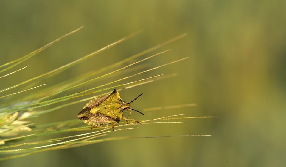 Barley, Ear, Bug, Leaf Bug, Insect, Flight Insect