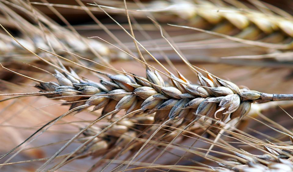 Wheat, Food, Crops, Barley, Wheat Crops, Wheat Field