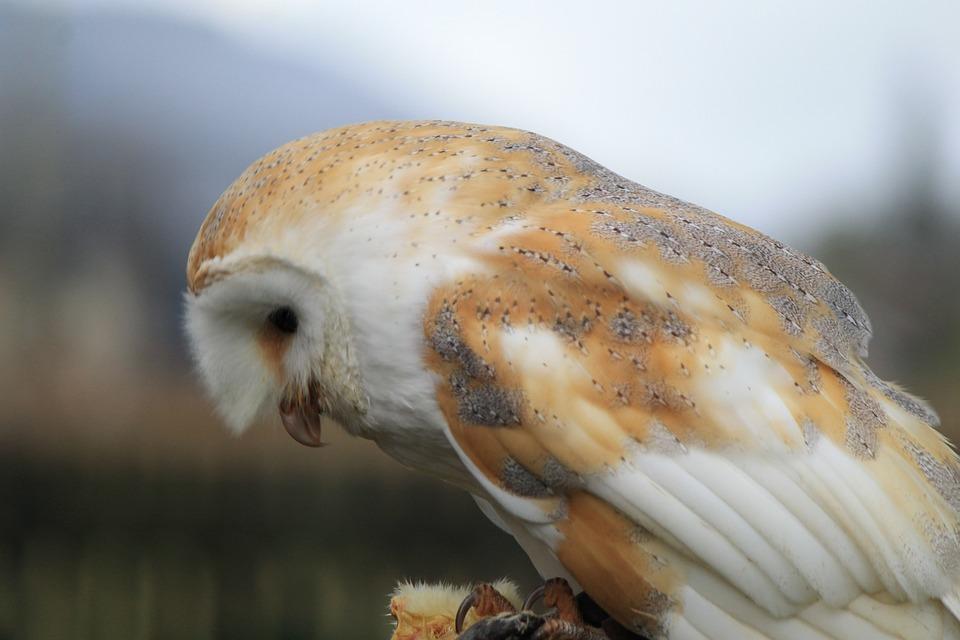 Owl, Barn Owl, Bird, Hunting, Watching, Waiting, Tree
