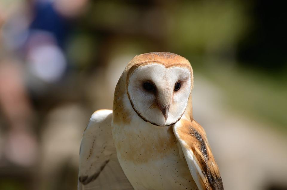Barn Owl, Owl, Bird, Animal, Bird Of Prey, Raptor