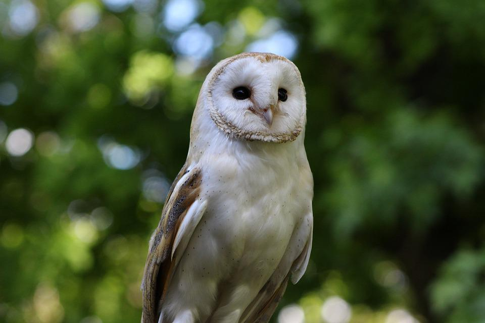 Barn Owl, Owl, Barn, Bird, White, Beak, Wildlife