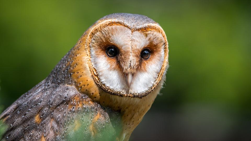 Free photo Barn Owl Predator Bird Of Prey Bird Owl Beak ...