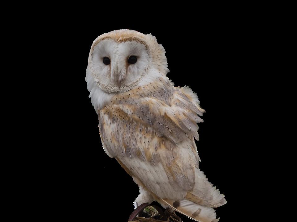 Barn Owl, Perched, Bird, Wildlife, Hunter, Nocturnal