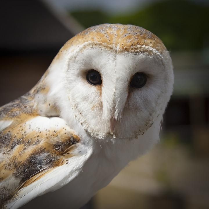 Animal, Barn Owl, Bird, Close-up, Macro, Owl, Wildlife
