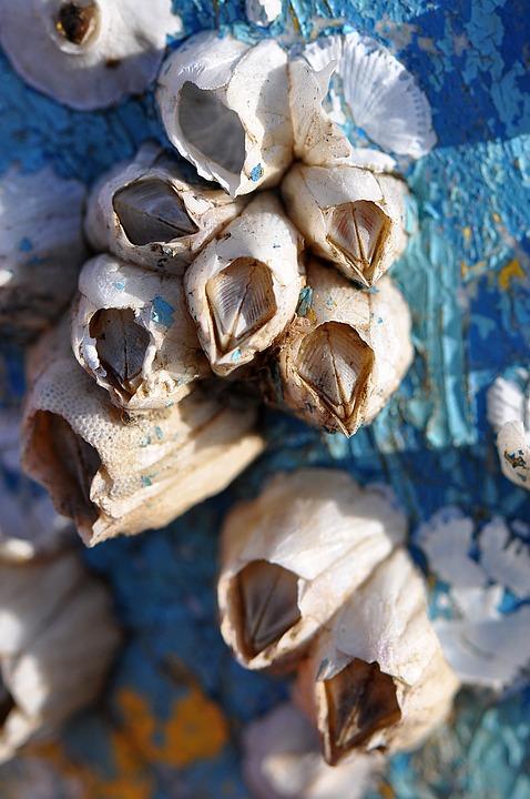 Barnacles, Macro, Blue, Aqua, Close-up, Cape Cod, Ocean
