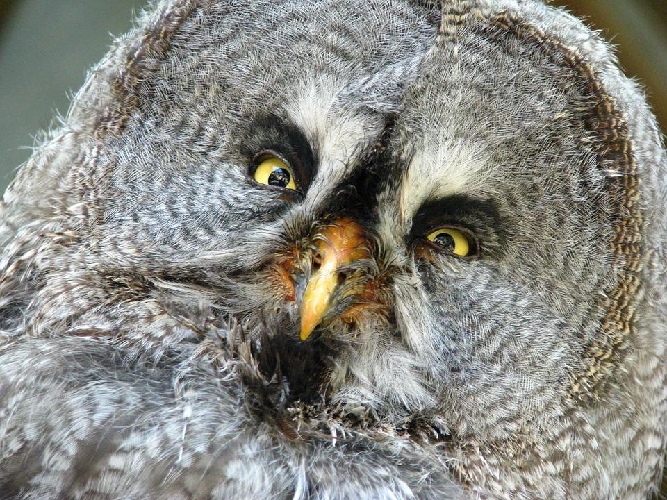 Free Photo Bart Owl Animal World Portrait Funny Bird
