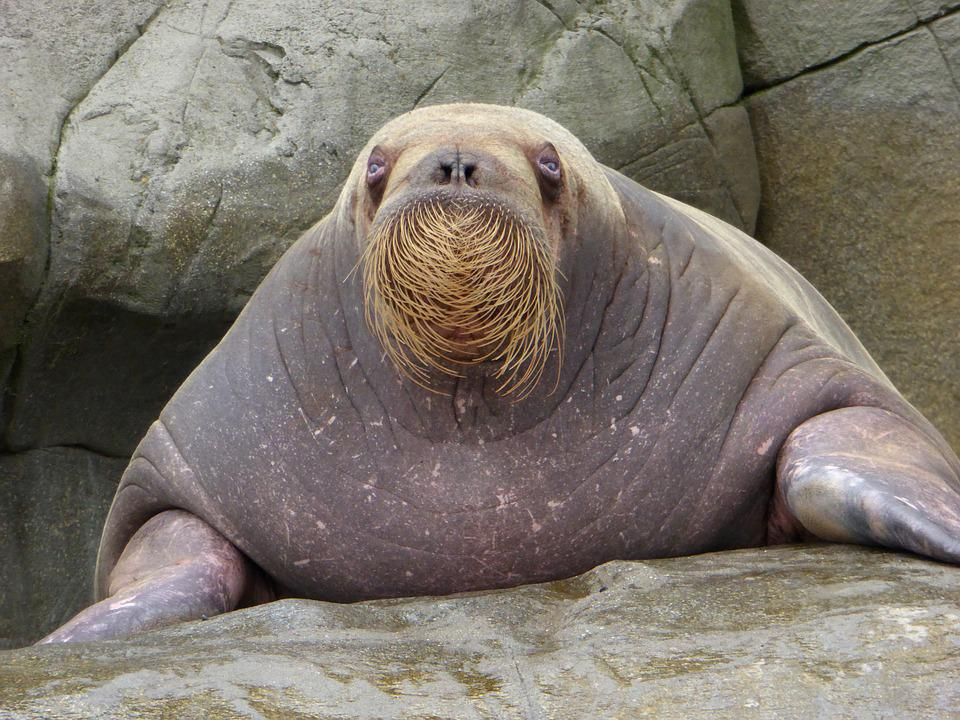 Walrus, Bart, Zoo, Rock, Water, Fins, Thick, Weight