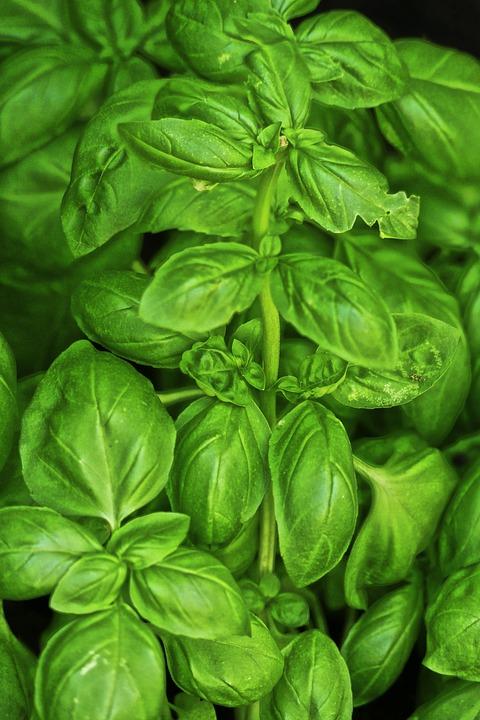 Basil, Culinary Herbs, Medicinal Plant, Herb