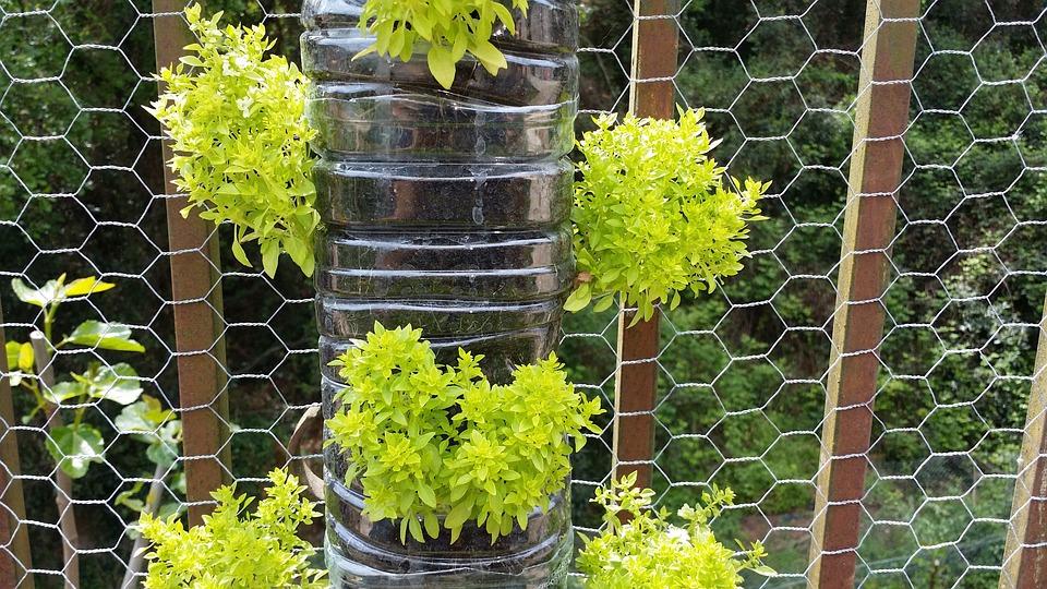 Albahabaca, Vertical Garden, Basil Large Leaf