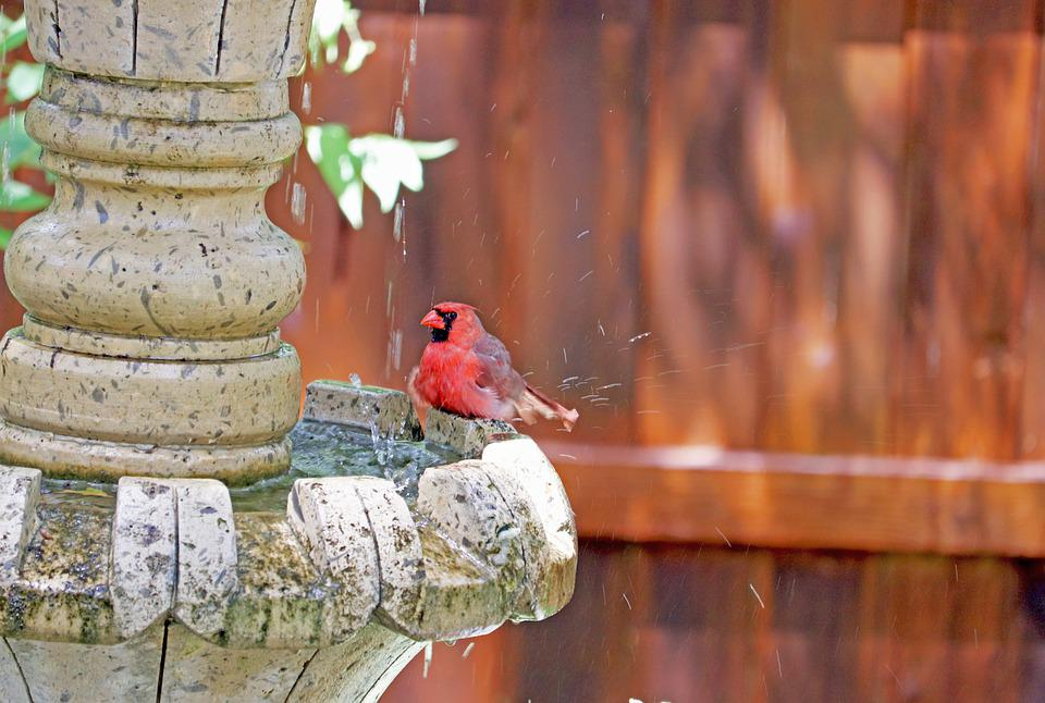 Cardinal, Red Bird, Song Bird, Bath, Fountain, Backyard