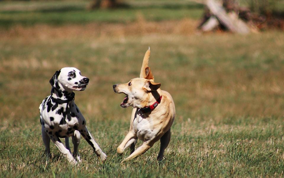 Play, Batons, Dogs Play, Great, Pet, Friend, Good, Cute