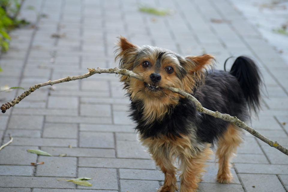 Yorkshire, Dog, Batons, Walk, Autumn