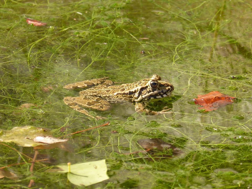 Frog, Batrachian, Wetland, Pond, Raft, Algae