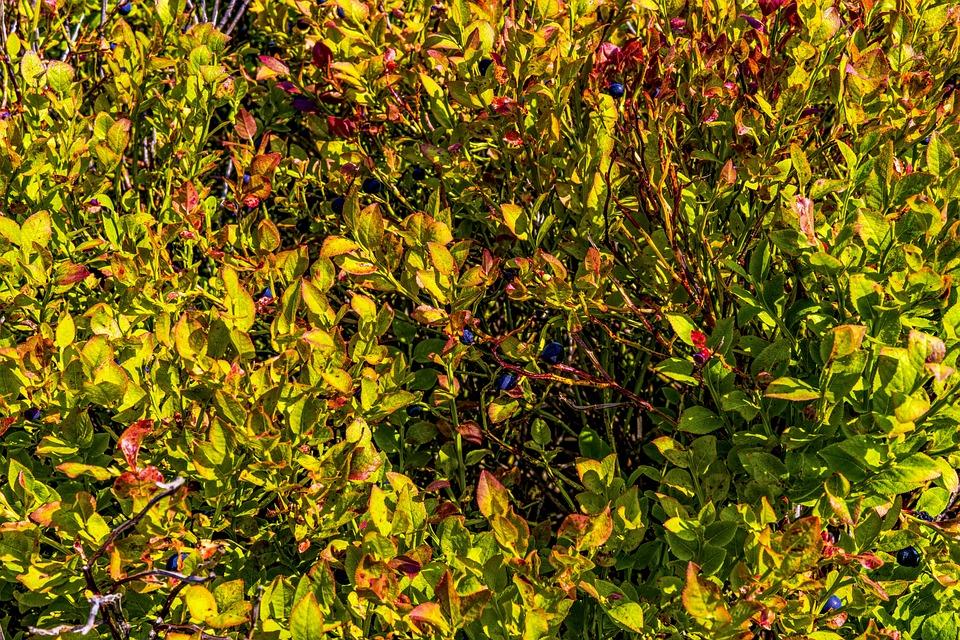 Heidelbeerstrauch, Blueberry, Bavarian Forest, Bavaria