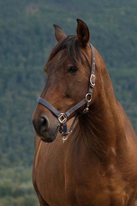 Horse, Equine, Bay Mare, Portrait, Head