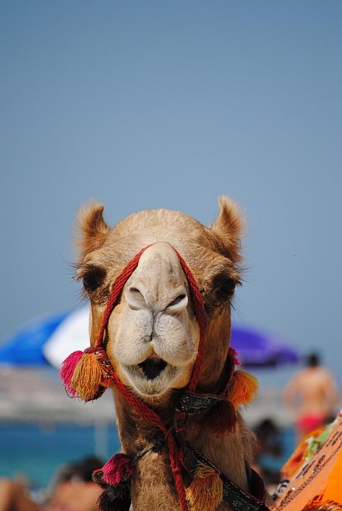 Dubai, Emirates, Camel, Arabic, Beach