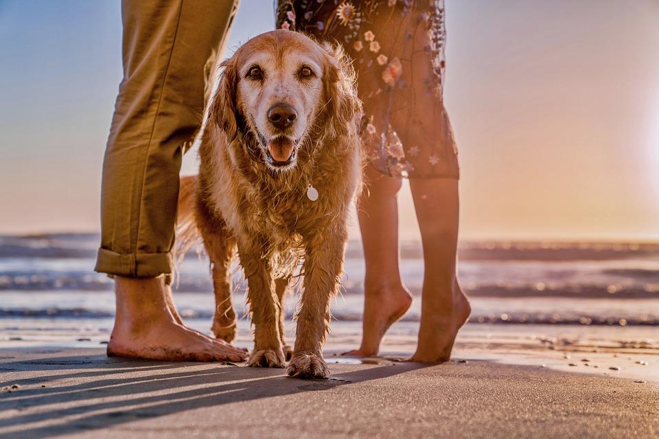 Dog, Young, Cute, Beach, Animal, Retriever, Doggy