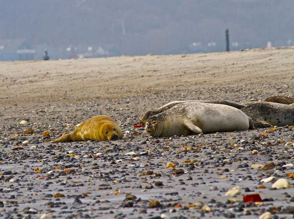 Seal, Bull, Grey, Wildlife, Mammal, Dune, Beach, Sand
